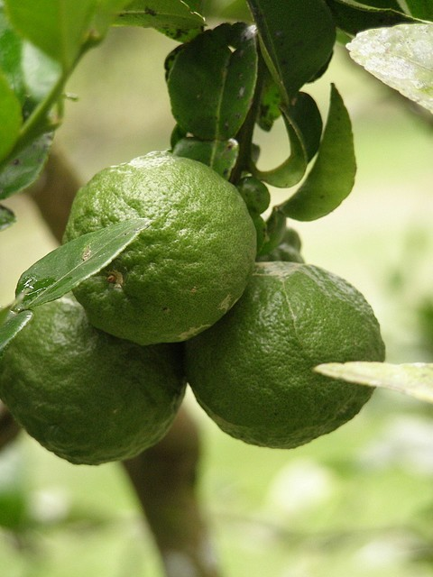 kaffir-lime-tree